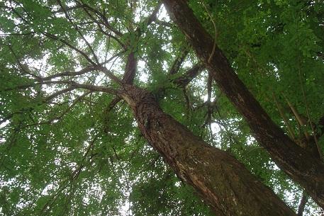cây gỗ trắc